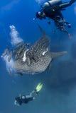 Whaleshark and scuba divers underwater in ocean Stock Photo