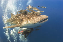 Whaleshark and suckerfish. A Whaleshark followed by Remora suckerfish near the island of Koh Tao on May 18, 2009. Koh Tao in the Gulf of Thailand is a popular stock images