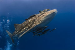 Whaleshark and suckerfish Royalty Free Stock Image