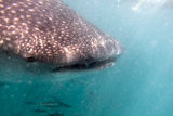 Whaleshark underwater. Close-up underwater of whaleshark near mexico Royalty Free Stock Image