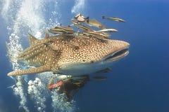 Whaleshark y suckerfish Imagenes de archivo