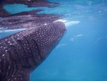 Whalesharks Fotografie Stock Libere da Diritti