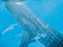 Whalesharks Royalty Free Stock Image