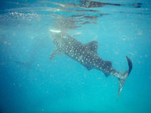 Whalesharks Royalty Free Stock Photos