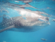 Whalesharks Stock Photography