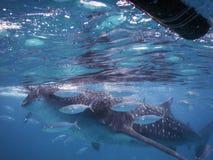 Whalesharks Stock Photography