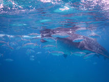 Whalesharks Stock Image