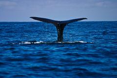 WhaleT. Whale watching at Kaikura,New Zealand stock photography