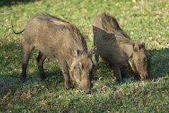 Wharthog South, Africa. Kruger National Park stock photos