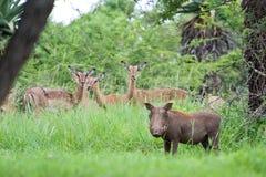 Whartog en impala Stock Foto