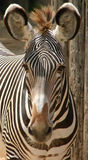 What?. A zebra looks at the camera with his ears up as if to say what are you looking at? Shows the head, ears, eyes, and part of the chest and back. neutral Royalty Free Stock Photo