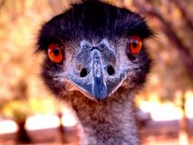What!?. Emu Royalty Free Stock Image