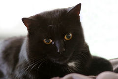 What is it?. A cat staring at something Royalty Free Stock Photos