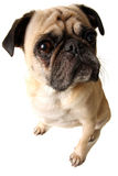 What?!. A closeup of a pug isolated on white Royalty Free Stock Photography