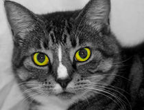 What Attitude. Desatuated cat head shot with eye in color Royalty Free Stock Image