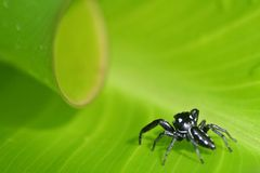 What awaits the little spider?. Small jumping spider approaching the curl of a canna leaf Stock Images