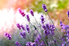 What a beautiful lavender Royalty Free Stock Photo