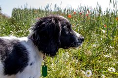 What can I see? A young puppy looking out over a meadow in the sunshine. stock image