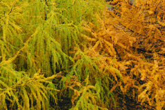 What colorful the Larix spp� Stock Photo