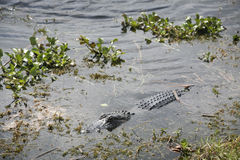 What a Croc. Crocodile swimming in a Florida wetland area Royalty Free Stock Image