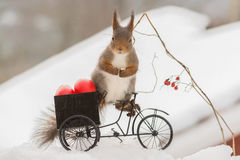 What did you say. Close up of red squirrel standing on a cycle filled with eggs on snow looking at the viewer Stock Photo