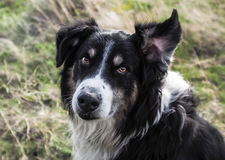What did you say ?. A English Shepherd at full attention with one ear in the air Stock Photo