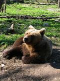 What do u want?. What do u want look ?-look from a bear Royalty Free Stock Photo