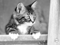 What going on?. Cat looking over the fence in Ohio Royalty Free Stock Photography