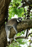 What a good life. A lemur resting on a tree branch Royalty Free Stock Photo
