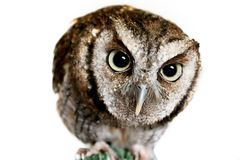 What a Hoot. Adorable little Owl ducks down and looks into Camera Lens stock photos