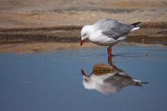 Is that what I look like?. Seagull in a rockpool, checking their reflection Stock Photo