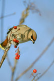 What ill luck. Bohemian Waxwing Royalty Free Stock Photo