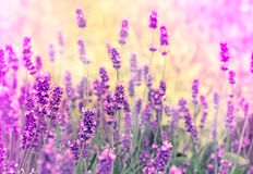 What a lovely lavender Stock Image