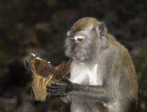 Monkey studying coconut. Monkeys in batu cave malaysia Stock Image