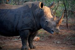 What about my future? What about us?. This beautiful white rhinoceros with long horn is wondering, what about the future. She saw how poachers killed other stock photography