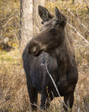 What a nose. Moose in the Bighorn Mountains grazing new spring sprouts Royalty Free Stock Image