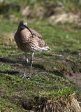 What is this now?. A photo of a bird (Gallinago royalty free stock photo