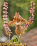 And what now. Red squirrel standing between 2 lupine flowers with spread legs Stock Images