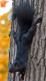 What Nut?. A black squirrel holding a nut in its mouth climbing down the trunk of a tree Stock Photos