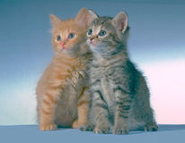 What a pair. Borrowed kittens for a photo shoot have to work fast as there attention span is very limited Royalty Free Stock Photos