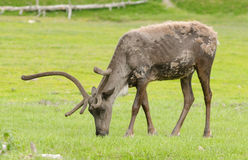 What reindeer do when not pulling slieghs Royalty Free Stock Photos