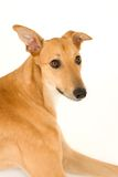 What's that??. A tan greyhound portrait against a white background stock photo