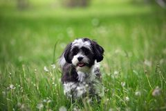 What`s That Thing Over There. A Shih tzu/maltese cross puppy playing in the grass among the dandelions stock photos