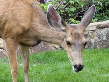 What's Up?. Wild female mule deer grazing on green grass stock images