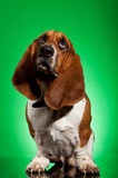 What's up?. Curious basset hound looking up on a green background Royalty Free Stock Photo
