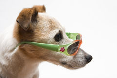 What's up?. Funny looking dog with sunglasses Royalty Free Stock Image