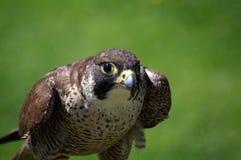 What's up. Falcon at Cabarceno.Santander Stock Photography