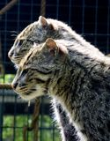 What's up Doc ?. Two cats in the Zoo, looking at something very intrigueging royalty free stock images