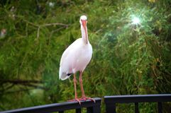 What's up!. Friendly and curious egret checking you out stock photo