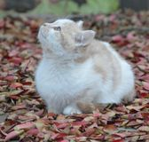Closeup of single kitten sitting among red autumn leaves looking towards the sky. Royalty Free Stock Photo